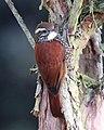 Pearled Treerunner JCB.jpg
