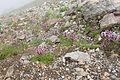 Pedicularis chamissonis var. japonica 17.jpg