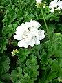 Pelargonium X hortorum.jpg