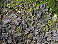 Peltigera phyllidiosa Goffinet & Miadlikowska 810691.jpg