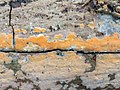 Peniophora incarnata 106476198.jpg