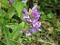 Penstemon serrulatus - Flickr - peganum.jpg
