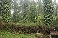 Pepper plantation Kolli hills JEG3048.jpg