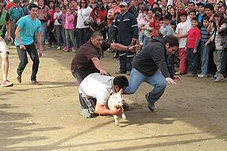 Pig wrestling - Pig wrestling in Chile.