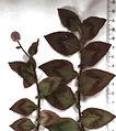 Persicaria capitata (N.Z.).jpg