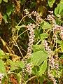 Persicaria orientalis 04.JPG