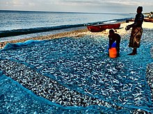 Lake Malawi sardines (Engraulicypris sardella) spread out to dry on the  shore of the lake
