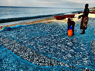 Lake Malawi - Lake Malawi sardines (Engraulicypris sardella) spread out to dry on the shore of the lake