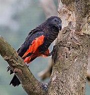 Pesquet's Parrot.jpg