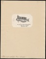 Petroscirtes mitratus - 1700-1880 - Print - Iconographia Zoologica - Special Collections University of Amsterdam - UBA01 IZ13600335.tif