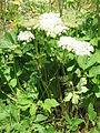 Peucedanum ostruthium002.jpg