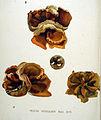 Peziza vesiculosa — Flora Batava — Volume v20.jpg