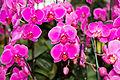 Phalaenopsis Lila Fee - Internationale Orchideen- und Tillandsienschau Blumengärten Hirschstetten 2016 a.jpg