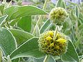 Phlomis fruticosa Enfoque 2010-5-08 DehesaBoyaldePuertollano.jpg