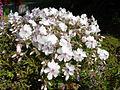 Phlox subulata 'Amazing grace' 2.JPG