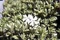 Phlox subulata Snowflake 4zz.jpg