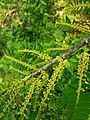 Phyllanthus in flower.jpg