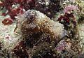 Phyllophoridae (poss. Phyrella ambigua).jpg
