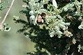 Picea mariana (Black Spruce) (3899161898).jpg