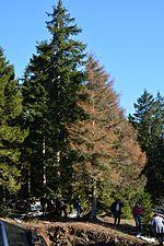 Picea orientalis killed by Dendroctonus micans (32102649926).jpg