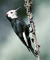 Picoides albolarvatus FWS.jpg