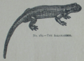 Picture Natural History - No 189 - The Salamander.png