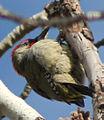 Picus viridis sharpei 042.jpg
