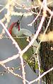 Picus viridis sharpei 056.jpg