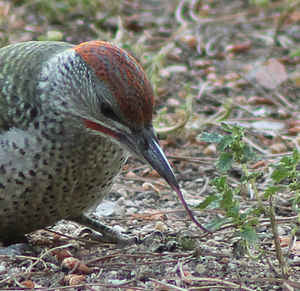 European green woodpecker - A juvenile male eats ants with the help of his tongue.