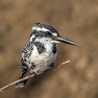 Pied kingfisher - female  both C. r. leucomelanurus Chambal River, Uttar Pradesh, India