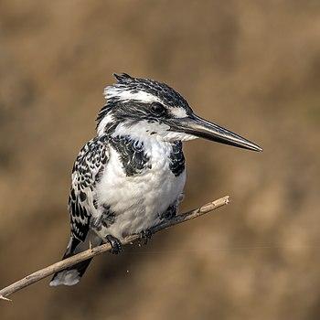 Pied kingfisher (Ceryle rudis leucomelanurus) female.jpg
