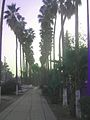 PikiWiki Israel 10654 Avenue of palm trees.jpg