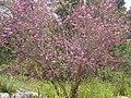 PikiWiki Israel 5088 cercis siliquastrum.jpg