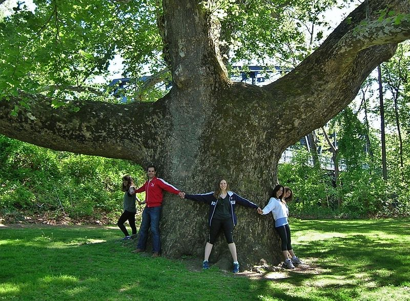 File:Pinchot Sycamore - sycamore tree in Simsbury, Connecticut, May 2015.jpg