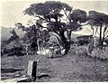 Pine Trees at S. Antonio da Serra, MON 1909.jpg