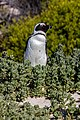 Pingüino de El Cabo (Spheniscus demersus), Playa de Boulders, Simon's Town, Sudáfrica, 2018-07-23, DD 46.jpg