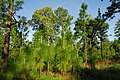 Pinus palustris USDA4.jpg