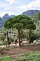 Pinus pinea - Alfàbia - Mallorca.jpg