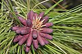 Pinus ponderosa 4754.JPG