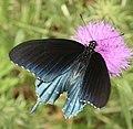 Pipevine Swallowtail (2658606611).jpg