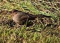 Pipilo crissalis -Orangevale, California, USA-8.jpg