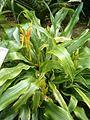 Pitcairnia andreana BotGardBln0712201C.JPG