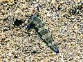 Plakobranchus ocellatus (32684895241).jpg
