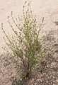 Plant, Daley Ranch.jpg