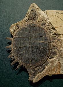 Trionychidae Wikipedia