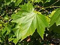 Platan klonolistny - liść.jpg