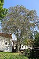 Platane, Altstadt Baden 02.jpg