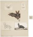 Plecotus auritus - kop - 1700-1880 - Print - Iconographia Zoologica - Special Collections University of Amsterdam - UBA01 IZ20800089.tif