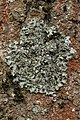 Pleurosticta acetabulum (40379221964).jpg