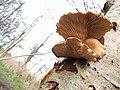 Pleurotus ostreatus 111515836.jpg